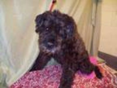 Adopt MARTIN a Giant Schnauzer, Mixed Breed