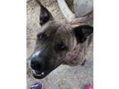 Adopt Frankie a Pit Bull Terrier