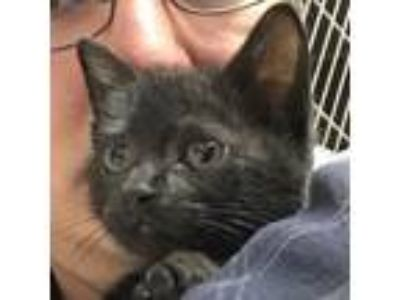 Adopt Rosie *Available Thursday 6/27 a All Black Domestic Shorthair / Domestic