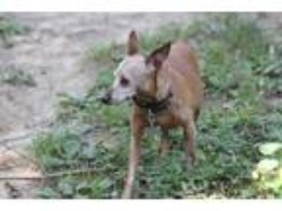 Adopt Cheaf a Red/Golden/Orange/Chestnut Miniature Pinscher / Mixed dog in