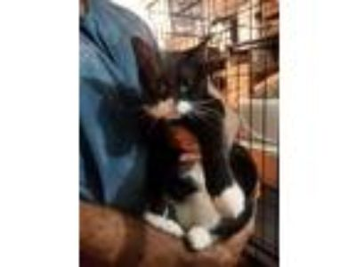 Adopt NADIA a Domestic Short Hair