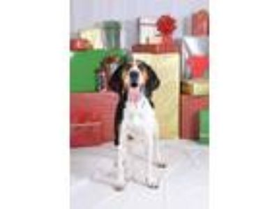 Adopt Cooper a Treeing Walker Coonhound
