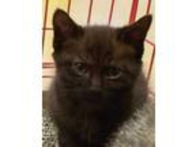 Adopt GI#4-apr19 a All Black Domestic Shorthair / Domestic Shorthair / Mixed cat