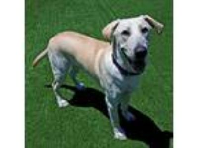 Adopt Special Agent Dale Cooper a Labrador Retriever / Mixed dog in Mipiltas
