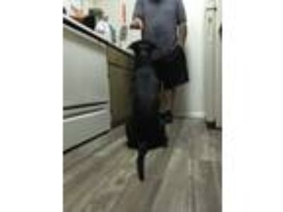 Adopt Julius a Black - with White American Pit Bull Terrier / Mixed dog in