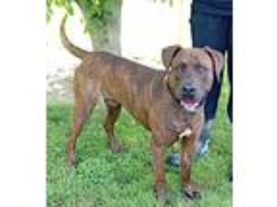 Adopt Maxwell a Brindle - with White Boxer / Doberman Pinscher / Mixed dog in