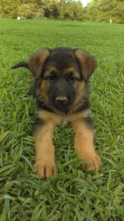 Excellent !!!! German Shepherd puppies !!!! Ready Now
