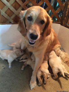 GOLDEN RETRIEVER AKC ABSOLUTE QUALITY PUPS