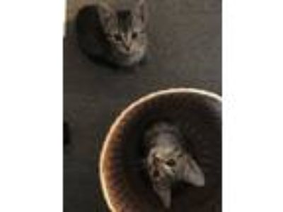Adopt Maple's girls a Domestic Short Hair, Maine Coon