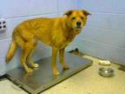 Adopt HENRY a Golden Retriever, Labrador Retriever