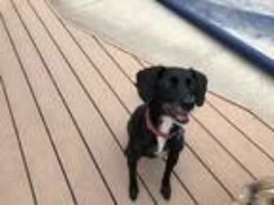Adopt PEPPER a Black Labrador Retriever / Beagle / Mixed dog in Camarillo