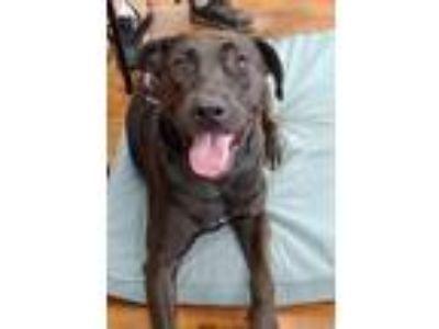 Adopt Ember a Labrador Retriever, Weimaraner