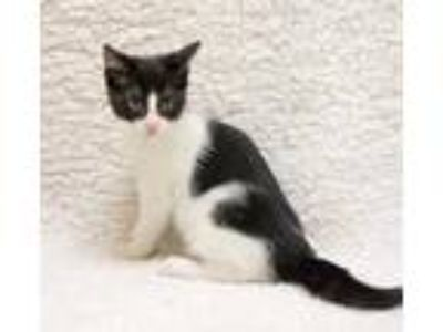 Adopt Jude Paw a All Black Domestic Shorthair / Domestic Shorthair / Mixed cat
