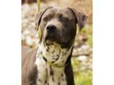 Adopt Grayson a Pit Bull Terrier