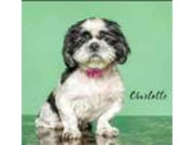 Adopt Charlotte a White - with Black Shih Tzu / Mixed dog in Cranston