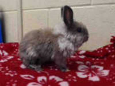 Adopt a Grey/Silver Other/Unknown / Mixed rabbit in Downey, CA (25927987)