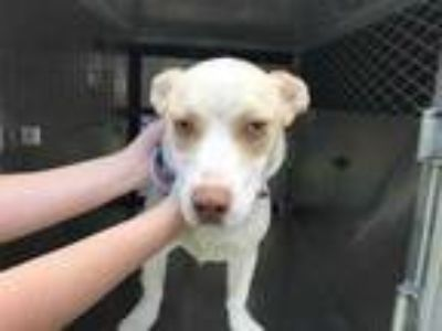 Adopt 41707010 a White Basset Hound / Labrador Retriever / Mixed dog in Fort