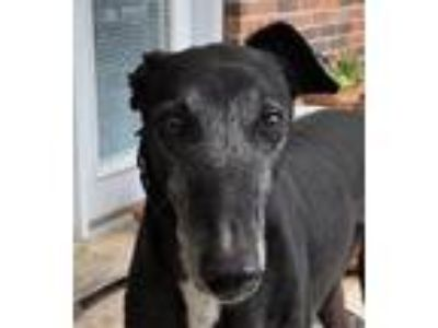 Adopt Lyle (CTW Lyle Lyndon) a Greyhound