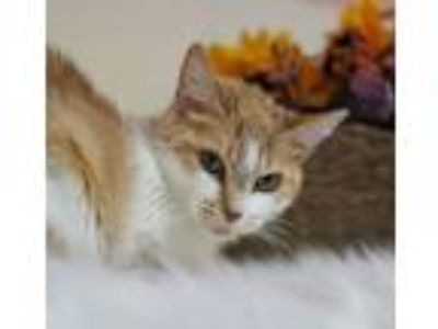 Adopt Juliet a Domestic Short Hair