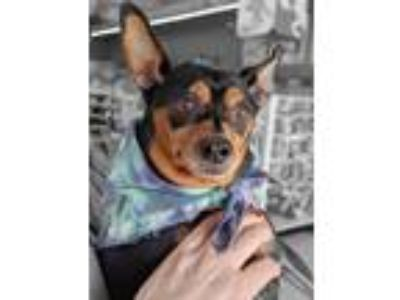 Adopt Jema a Black - with Tan, Yellow or Fawn Miniature Pinscher / Mixed dog in