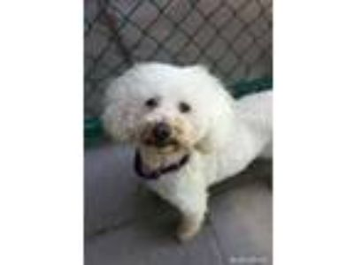 Adopt Babs a Poodle, Bichon Frise