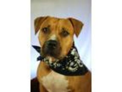 Adopt CHARLOTTE a Pit Bull Terrier, Black Mouth Cur