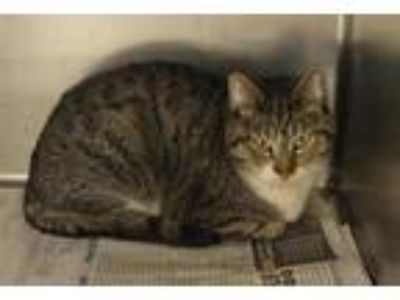 Adopt 57638 a White Domestic Shorthair / Domestic Shorthair / Mixed cat in