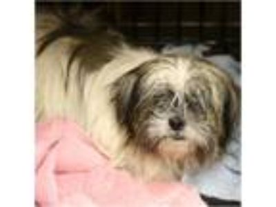 Adopt Bonnie a White - with Gray or Silver Shih Tzu / Mixed dog in Tavares