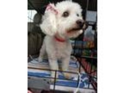 Adopt Suzie Q a White Cockapoo / Mixed dog in Lake Forest, CA (24556569)