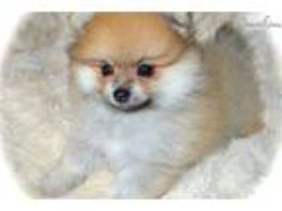 "Dee DEE'S POMS AKC ""Scotty"""