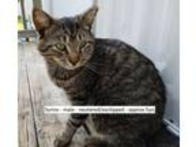 Adopt Syrinx a Domestic Short Hair, Tabby