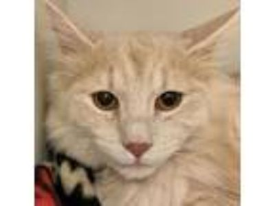 Adopt Egon a Domestic Medium Hair, Domestic Short Hair