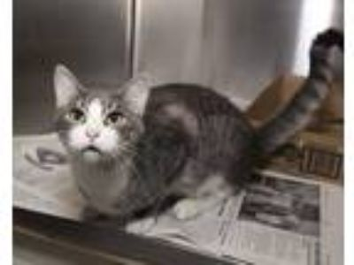 Adopt Butch a Gray or Blue Domestic Shorthair / Domestic Shorthair / Mixed cat