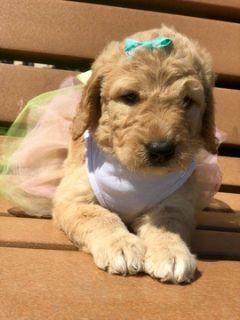 Goldendoodle PUPPY FOR SALE ADN-97871 - Heaven F1 goldendoodle