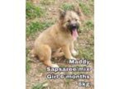 Adopt Maddy from Korea a Old English Sheepdog / Mixed dog in Seattle