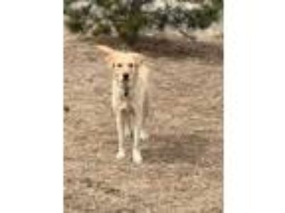 Adopt Loki a Tan/Yellow/Fawn Labrador Retriever / Mixed dog in Westminster