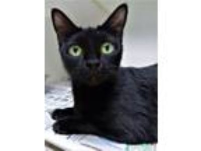 Adopt Kitten Mouse a Domestic Short Hair