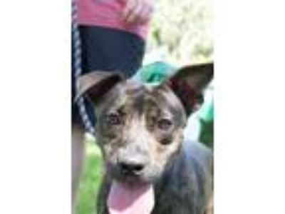 Adopt Brindi a Staffordshire Bull Terrier / Mixed dog in Davie, FL (16722001)
