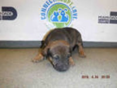 Adopt GINA a Brown/Chocolate - with Black German Shepherd Dog / Mixed dog in