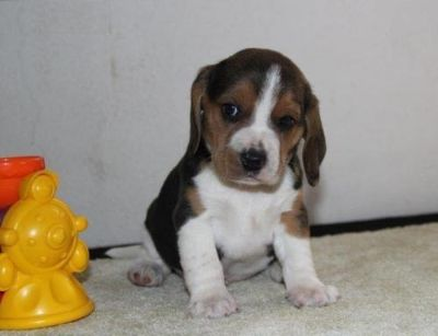 Charming Beagle Puppy for Adoption.