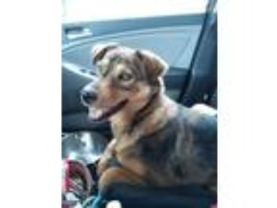 Adopt Lilly Brown a Australian Shepherd