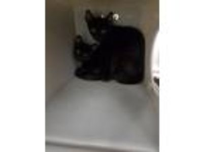 Adopt Myna a All Black Domestic Shorthair (short coat) cat in Salisbury