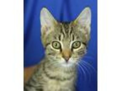 Adopt Ty a Brown Tabby Domestic Shorthair (short coat) cat in Winston-Salem