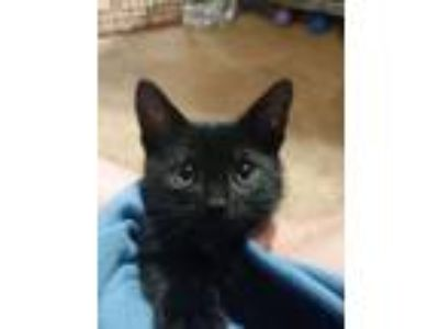 Adopt Rabbit a Domestic Short Hair