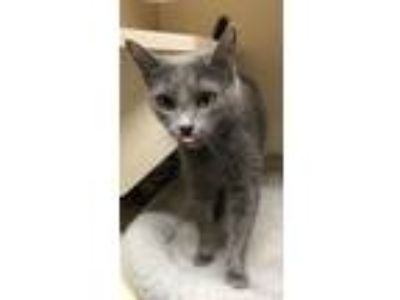 Adopt blue a Gray or Blue Russian Blue (short coat) cat in Germantown