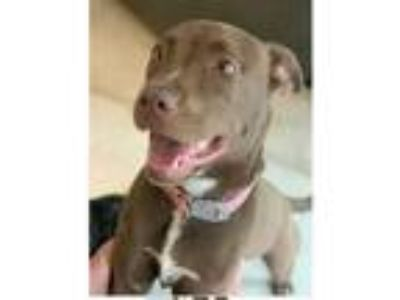 Adopt Delaney a Labrador Retriever