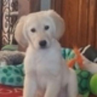 Golden Retriever PUPPY FOR SALE ADN-109573 - Light Golden Retriever Pup