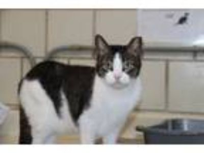 Adopt Fabio a Domestic Short Hair