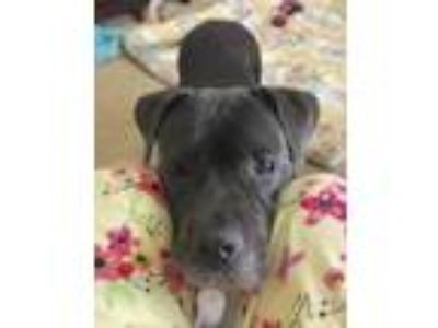 Adopt Zenith a Staffordshire Bull Terrier, Mixed Breed