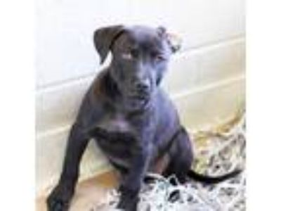 Adopt Emma a Black Labrador Retriever / Mixed dog in Atlanta, GA (25569206)